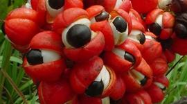 guarana brulafine